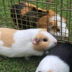 Guinea Pig Boarding 6