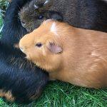 Guinea Pig Boarding 4