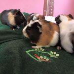 Guinea Pig Boarding